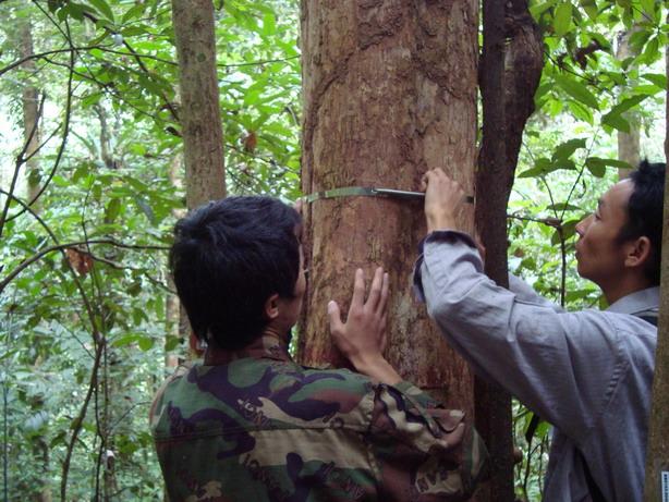 工作人员正在安装树木胸径测量环